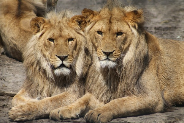 zoo, lions, animals, series, television